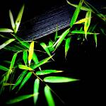"""Bamboo in Fence"" by johnburnett"