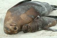 Galapagos Sea Lion Mama and Baby II