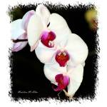 """""""Orchid #3"""" by MadelineAllen"""