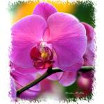 """""""#14 Orchid"""" by MadelineAllen"""