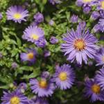 """""""asters"""" by nathangriffith"""