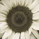 """sunflower"" by nathangriffith"