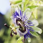 """passion flower"" by nathangriffith"