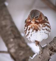Shivering Fox Sparrow