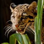"""Clouded Leopard"" by carleepix"