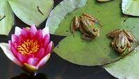 Frogs on Lily