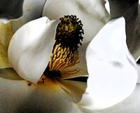 Magnolia Abstract