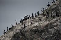 Row of Cormorants, Inian Islands, Alaska