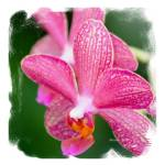 """""""21 - Orchid"""" by MadelineAllen"""