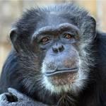 """Chimp"" by cfoxtrot"