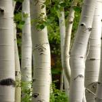 """Aspen trees by timpanookie"" by houstonryan"
