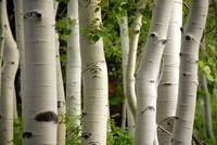 Aspen trees by timpanookie