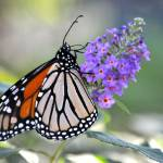 """Monarch Butterfly on Flower"" by FlattenPhotography"