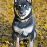 """Shiba Inu Puppy"" by ImageArt-Photography"