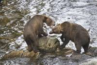 Brown Bears Playfully Wrestle at Anan Creek