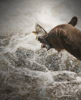 Brown Bear Catching Salmon at Anan Creek, Alaska