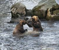 Brown Bears Playfully Wrestle at Anan Creek, Alask