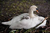 Swan and chick-1