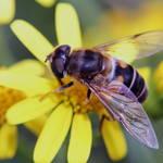 """Hoverfly"" by ImageMonkey"