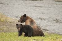 Brown Bear and Cub, Pack Creek, Alaska