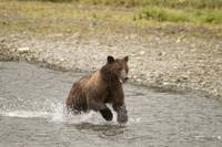 Brown Bear Runs After Fish at Pack Creek