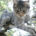 """Thumbs Alien Sasquatch stud kitten @ 6 months"" by Myrn"
