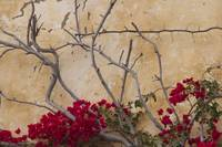 Carmel Mission Wall and Bougainvillea