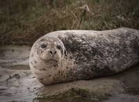 Harbor Seal at Elkhorn Slough