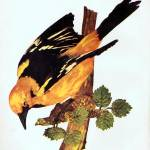 """Golden Oriole"" by birthdaygifts"