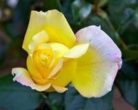 Yellow Rose in Bud