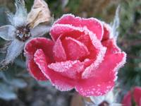 Frost on red rose