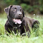 """Chocolate Labrador Relaxing in Lush Grassland"" by jmpaget"