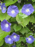 Family of morning glories