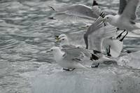 Black Legged Kittiwakes on Iceberg, Alaska