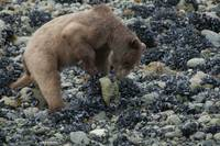 Bear Searching for Food on Glacier Bay Beach