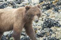 Brown Bear Closup, Glacier Bay Beach