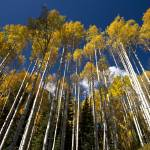 """Tall Aspens In Fall"" by pbk"