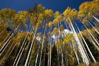 Tall Aspens In Fall