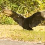 """Vulture"" by DennisFox"