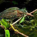 """Green Heron Fledgling"" by carleepix"
