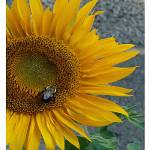 """Like Sunshine"" by TamIshArt"