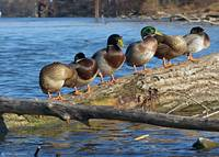 The Mallards Gang