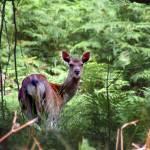 """""""Sika Deer Hind (Cervus nippon)"""" by Adrianhall"""