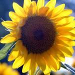 """Sunflower"" by brncos3"