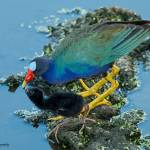 """Purple Gallinule w/ Chick"" by carleepix"