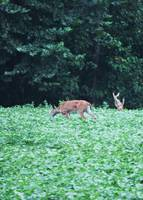 Deer & Baby Playing