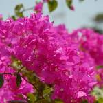 """Cayman Islands Plant Life : Bougainvillea"" by RonScott"