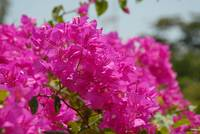 Cayman Islands Plant Life : Bougainvillea