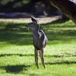 """""""Sequoia Deer"""" by egorski"""