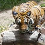 """Tiger"" by egorski"